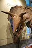 This is a skeleton of the well-known Triceratops, a herbivore that lived in North America about 68 million years ago until the extinction event.<br /> _MG_6561