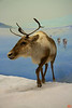 Another life-size diorama of caribou on the Canadian tundra.<br /> _MG_6538
