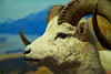 A diorama of Thinhorn or Dall Sheep.<br /> _MG_6547