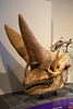 This imposing skull is from an Arsinoitherium Zitteli, a huge herbivore that lived in Africa 36 to 30 million years ago.<br /> _MG_6548