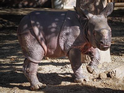 Baby rhinoceros