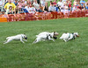 Jack Russell Terriers racing across the field.