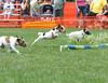 Terrier racing over hurdles.