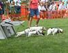 Terrier races.  Ready, set, go...