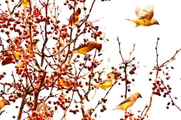 Birds 2013-4398