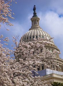 View of the US Capitol Dome from the West Lawn. It was March 20, 2012, and spring had just officially arrived, but warm weather had caused cherry tree blossoms to mature much more rapidly than usual in Washington DC. (Photo by Jeff Malet)