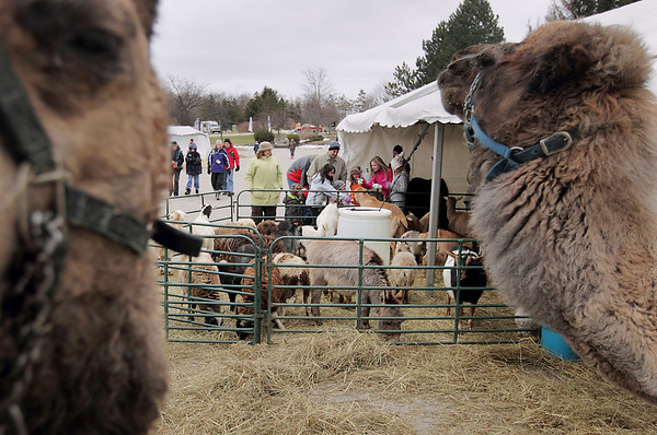 Record-Eagle/Keith King<br /> Dromedary camels look around in a petting zoo at the Grand Traverse Resort & Spa in Acme Saturday, February 19, 2011 during the Cherry Capital Winter Wow!Fest.