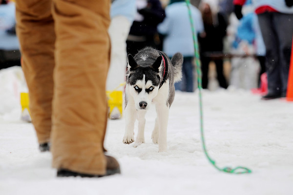 Record-Eagle/Keith King<br /> Pandora, a Siberian Husky belonging to A.J. Schibelhut, of Traverse City, competes in the monster dog pull Saturday, February 19, 2011 during the Cherry Capital Winter Wow!Fest.