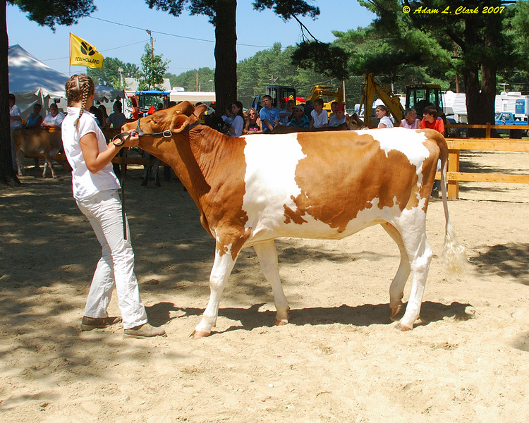 4-H dairy show.