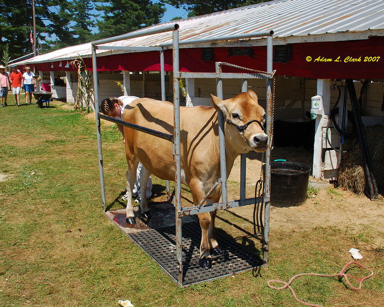 4-H dairy stalls area.