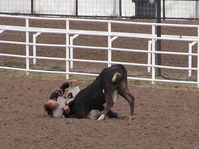 """Steer Wrestling (formerly called Bulldogging): This is one """"bull-headed"""" little bull."""