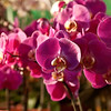 Prtty Orchids - All in a row