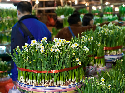 Plenty of Narcissus (daffodils) for sale