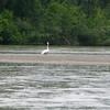 A swan!