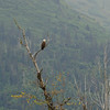 Another bald eagle! Such majestic birds!