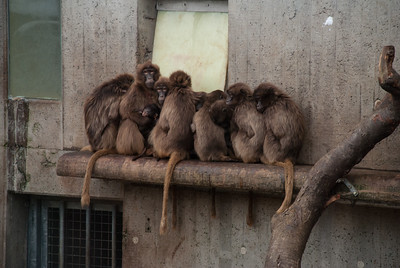 German Monkeys in December