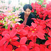 Poinsettias now abound all over Baguio City signaling the real start of the Christmas season. (Photo by Mauricio Victa of Sun.Star Baguio)