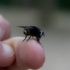fly that mimics a bee for protection.  We were not fooled.