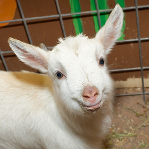 St John the Baptist holy goat. What a heart breaker smile! This little guy could be right out of a Leonardo painting!