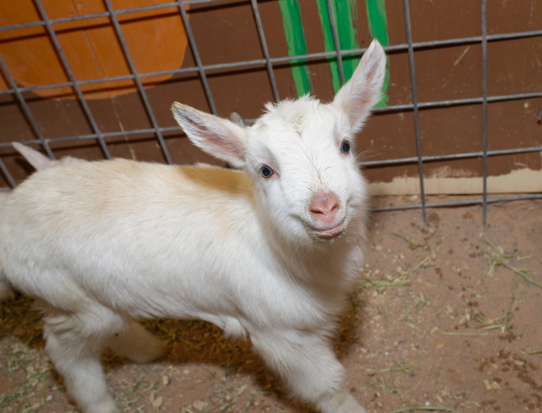 baby jesus goat from quail hollow farm at clark county fair rodeo image by mark bowers