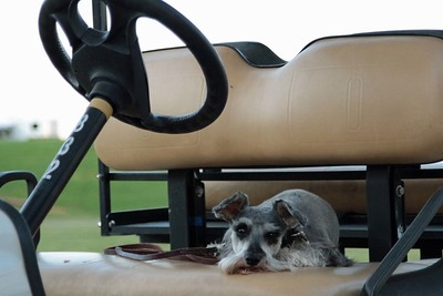 Bailey guards the golf cart.