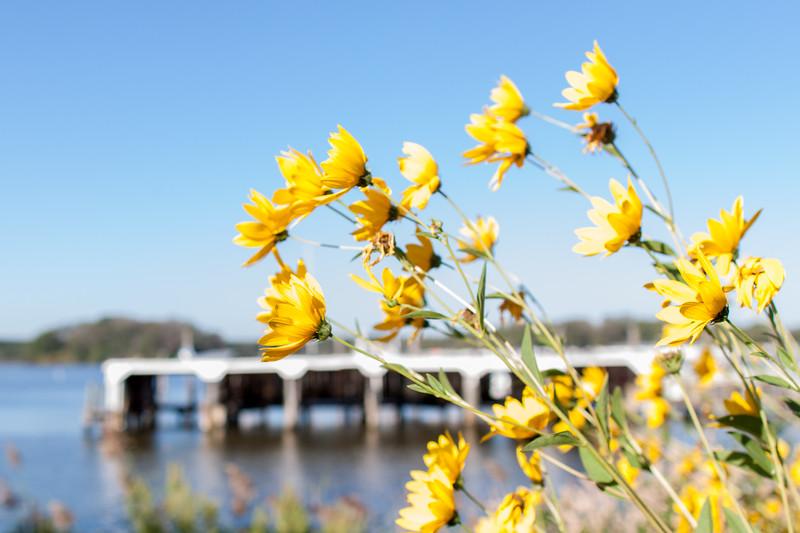 Yellow Roadside Flowers in Colonial Beach