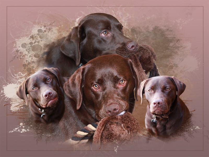 Finbar - a chocolate labrador puppy