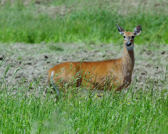 0602 oh deer