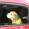 Drake and Beany Beagle Ubering home after Pups & Pints