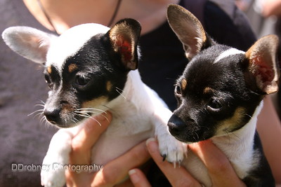 Meet Delilah and Diesel - teacup Chihuahuas!  And the hit of the Market today!  ;-)