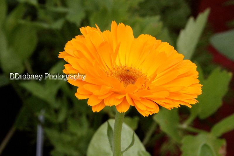 Calendula, I believe - in the Topmost Herb Farm booth.