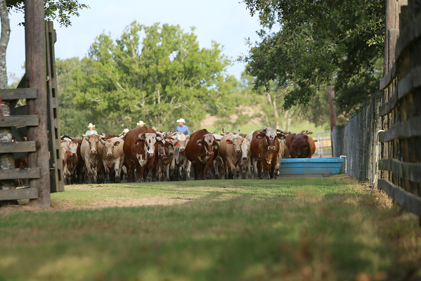 7J Aug 2014 Shipping Calves
