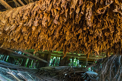 Tobacco leaves drying in a barn in the town of Viñales