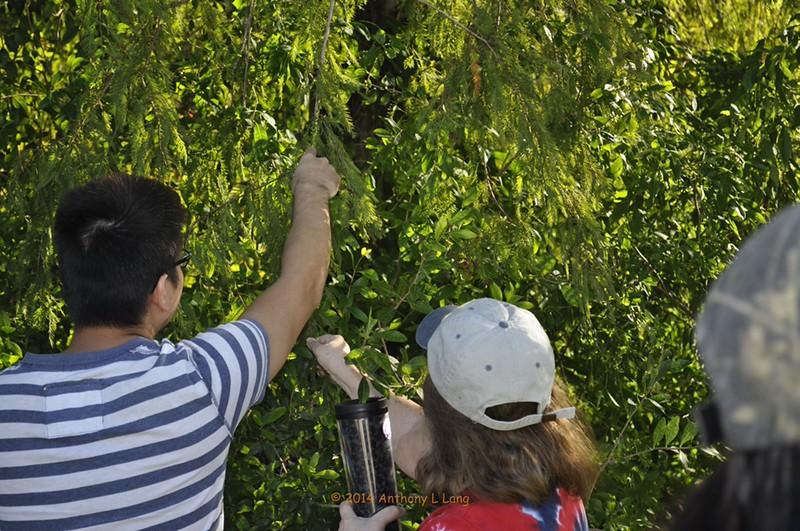 <b>Gathering Seed Pods</b> <b>Marshall Foundation Cypress Harvest</b>  October 25, 2014 <i>- Anthony Lang</i>