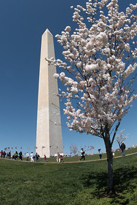 Washington Monument during Cherry Blossom Festival, April 2010, Washington, D.C.