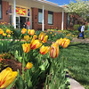 Tulips at St. Dominic