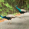 Peacocks 02