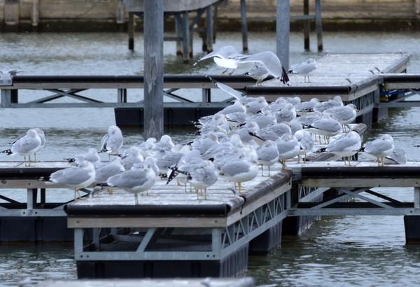1207 seagull gathering