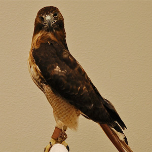 Red Tailed Hawk - Presented by the West Volusia Audubon Society © Nora Kramer. All rights reserved.