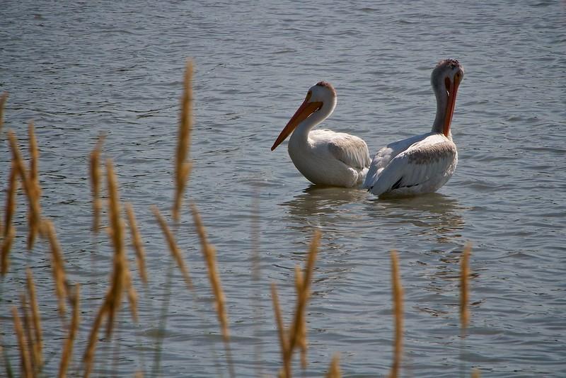 Two white pelicans on Sloan Lake