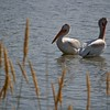Two white pelicans on Sloan Lake