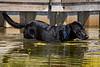 Zorro the dog exploring his water world.