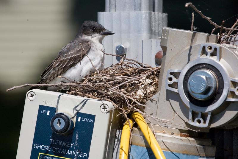 Kingbird on its nest.