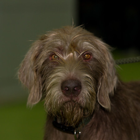 Slovakian Rough Haired Pointer