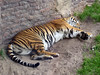 <b>Tiger Sleeping</b>   (Apr 23, 2005, 12:46pm)