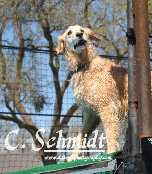 Schatzi, a Golden Retriever jumped by a junior handler jumped 6'2