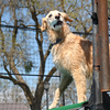 Schatzi, a Golden Retriever jumped by a junior handler jumped 6'2