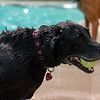 """Jed rescues another tennis ball from waters of Scott Carpenter Pool.<br /> Dogs and owners were able to have some wet fun during Dog Dayz at Scott Carpenter Pool in Boulder on Sunday.  Dog Dayz will continue through September 7, check  <a href=""""http://www.BoulderParks-Rec.org"""">http://www.BoulderParks-Rec.org</a> for the  daily schedule.<br /> Cliff Grassmick / August 23, 2009"""