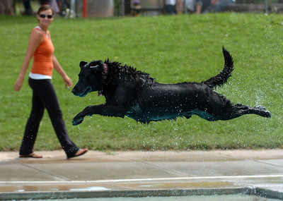 Jed, owned by Peter Lowell, shows off his diving form. Dogs and owners were able to have some wet fun during Dog Dayz at Scott Carpenter Pool in Boulder on Sunday.  Dog Dayz will continue through September 7, check www.BoulderParks-Rec.org for the  daily schedule. Cliff Grassmick / August 23, 2009