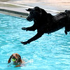 "Jed the wonder dog was the top jumper on Sunday.<br /> Dogs and owners were able to have some wet fun during Dog Dayz at Scott Carpenter Pool in Boulder on Sunday.  Dog Dayz will continue through September 7, check  <a href=""http://www.BoulderParks-Rec.org"">http://www.BoulderParks-Rec.org</a> for the  daily schedule.<br /> Cliff Grassmick / August 23, 2009"